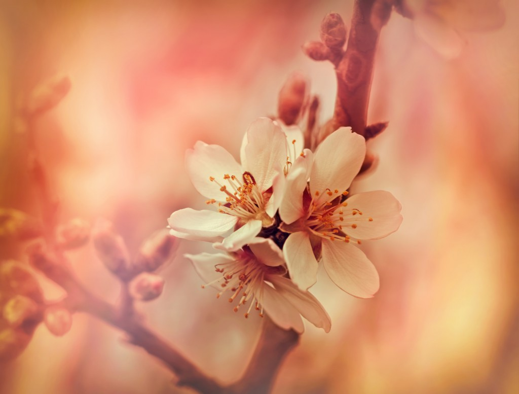 Soft focus on flourishing flower - fruit tree